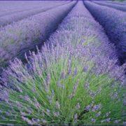 coltivazione-lavanda_o2_324_g